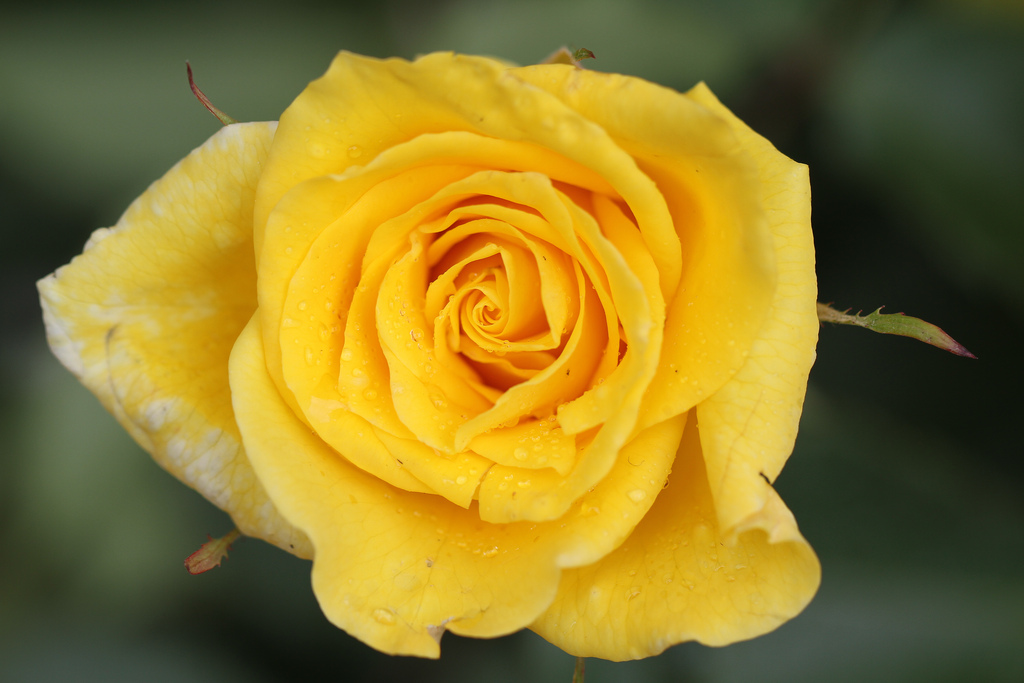 """""""Yellow Rose"""" by Jim, the Photographer, is licensed under CC BY 2.0. http://www.flickr.com/photos/jcapaldi/4625059176/"""